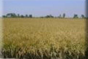 Las penurias del arroz